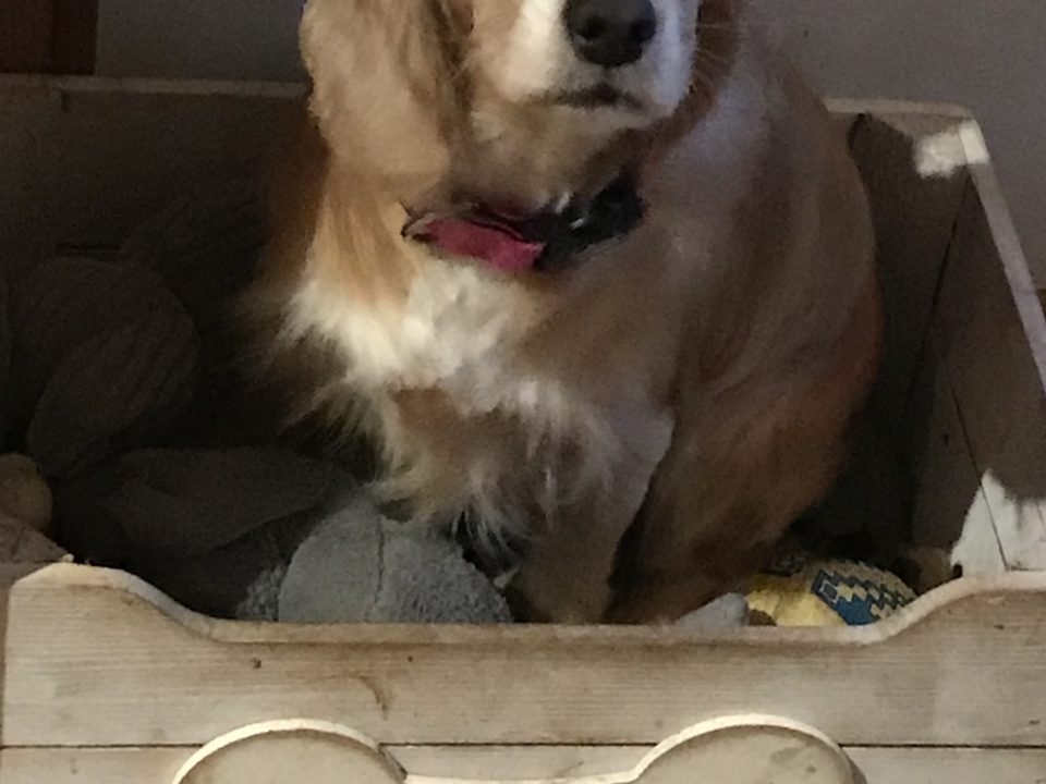 Rosie Golden Cocker Spaniel
