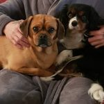 Rolo and Maisey Pugalier fawn and Tricolour Cavalier