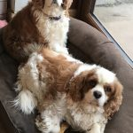 Clive and Steve age 7 Blenhiem Cavaliers