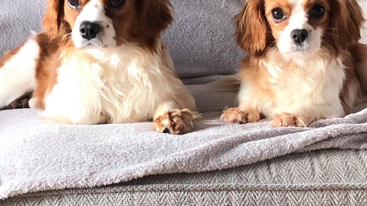 Gatsby and Gabby 15 months old Blenhiem Cavaliers