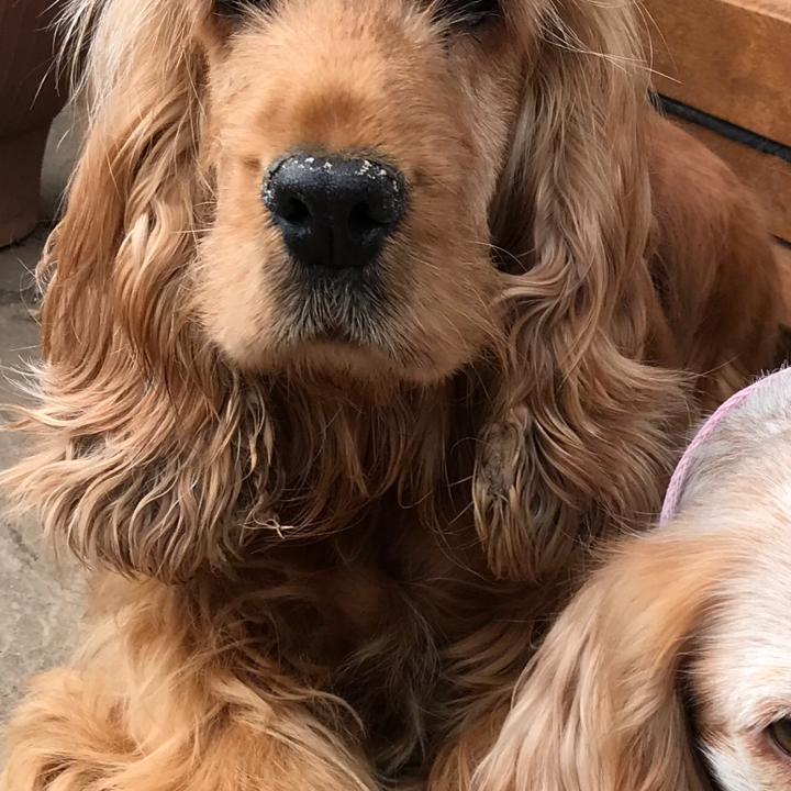 Hettie Red Cocker Spaniel age 6