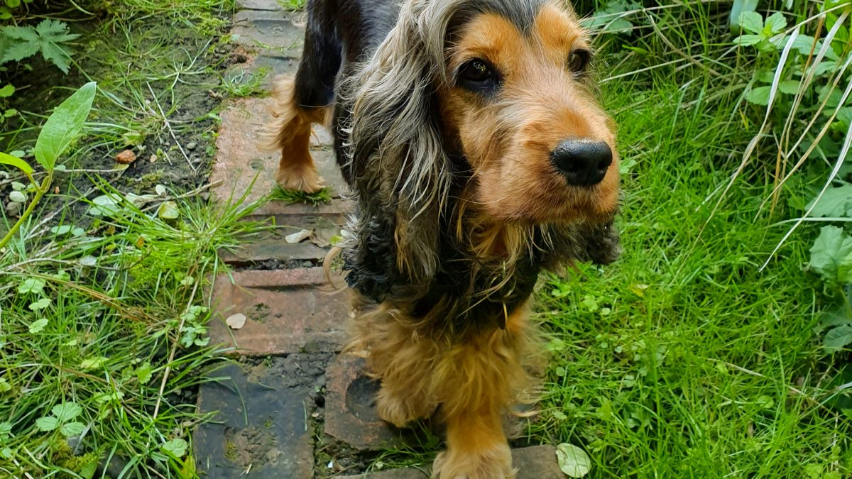 Darcy 4 year old Cocker Spaniel
