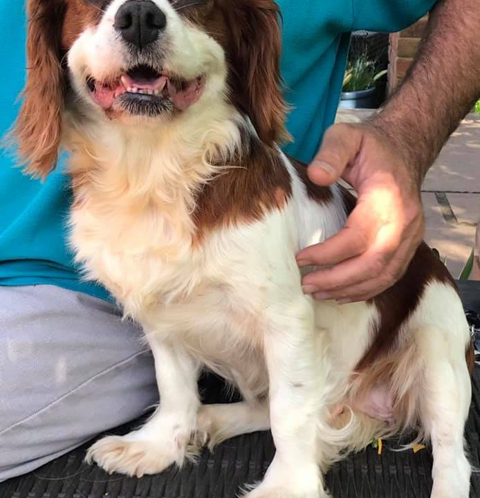 Daisy Blenheim Cavalier age 5 years