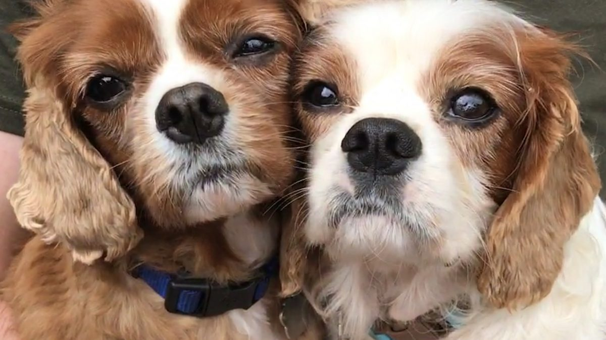 Fudge and Biscuit Cavalier king charles age 7 and 5