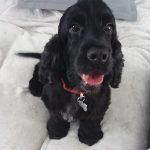 Millie English Cocker Spaniel Black age 6