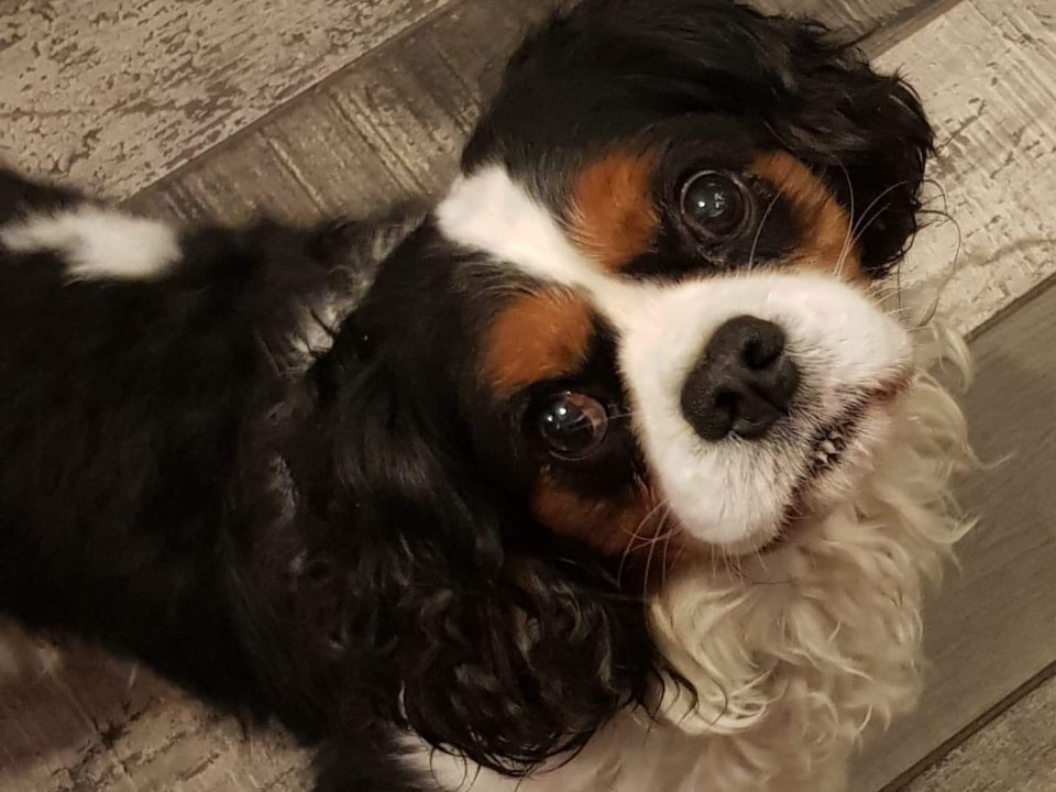 Ralphie Tricolour Cavalier King Charles age 6