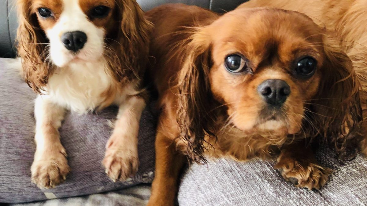 Lola and Ruby Cavalier King Charles Spaniels age 4 and 6 years old