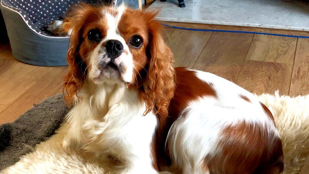 Marley Blenhiem Cavalier King Charles age 14 months
