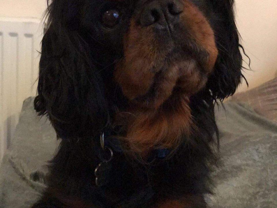 Fonzie age 4 black and tan Cavalier boy