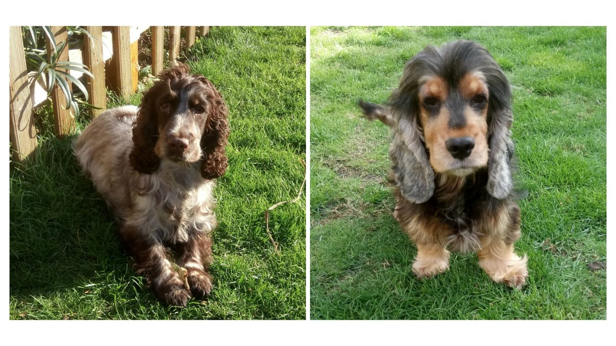 Flo and Betsy Cocker Spaniels