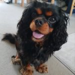 Tilly age 2 black and tan Cavalier King Charles
