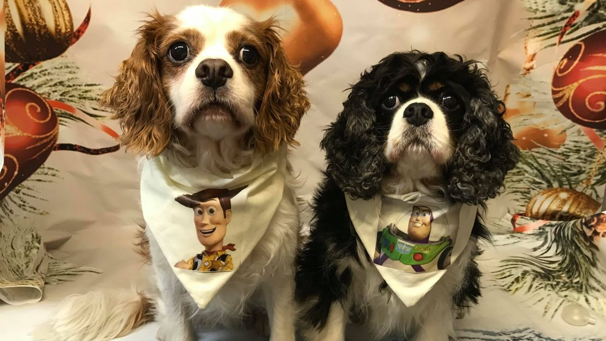 Woody and Buzz Cavalier King Charles Spaniels age 8