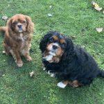 Charlie ruby Cavalier and Oscar black and tan Cavalier