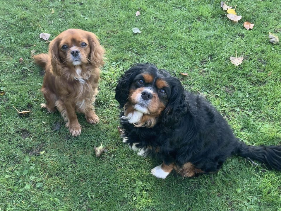 Charlie ruby Cavalier and Oscar black and tan Cavalier