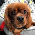 Franky 9 month old Ruby Cavalier King Charles Puppy
