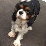 Buddy Tricolour Cavalier King Charles age 6