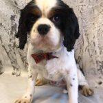Bailey Tricolour Cavalier King Charles age 5