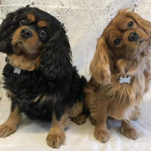 Barney and Reilly age 5 and 6 years Cavalier King Charles Spaniels