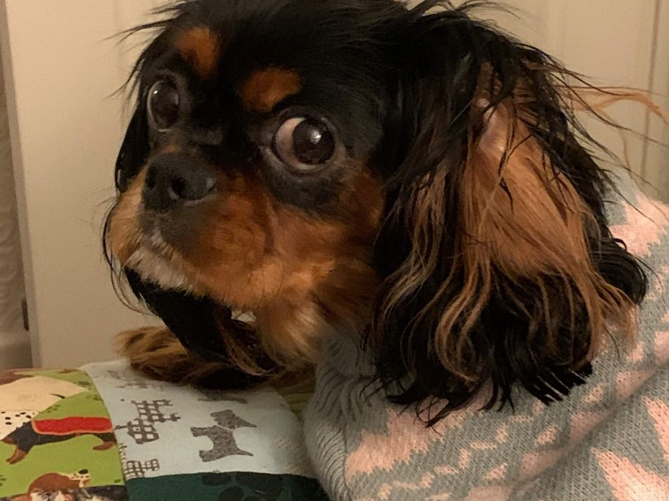 Willow Black and Tan Cavalier King Charles