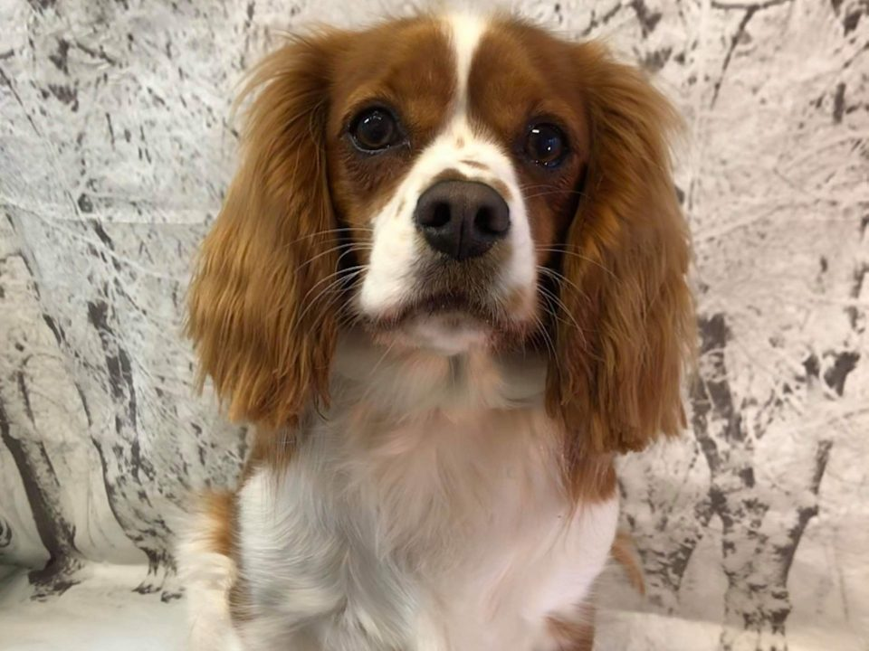 Ruby Cavalier Cross age 16 months