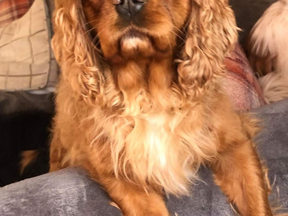 Bea Ruby Cavalier King Charles age 3