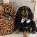 Reilly and Barney Cavalier King Charles boys