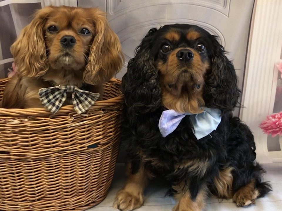 Reilly and Barney Cavalier King Charles boys