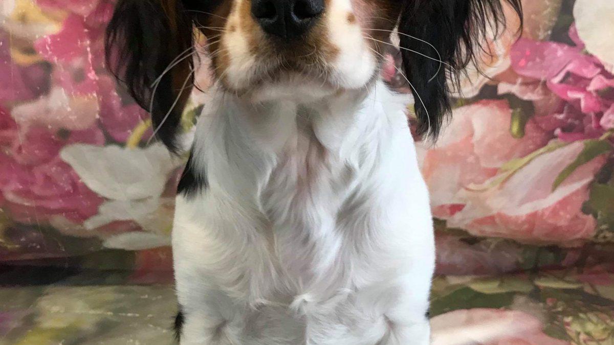 Bruno Tricolour Cavalier Puppy