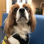 Chester Blenhiem Cavalier King Charles 2 Years Old