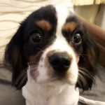 Bruno 6 month Tricolour Cavalier King Charles