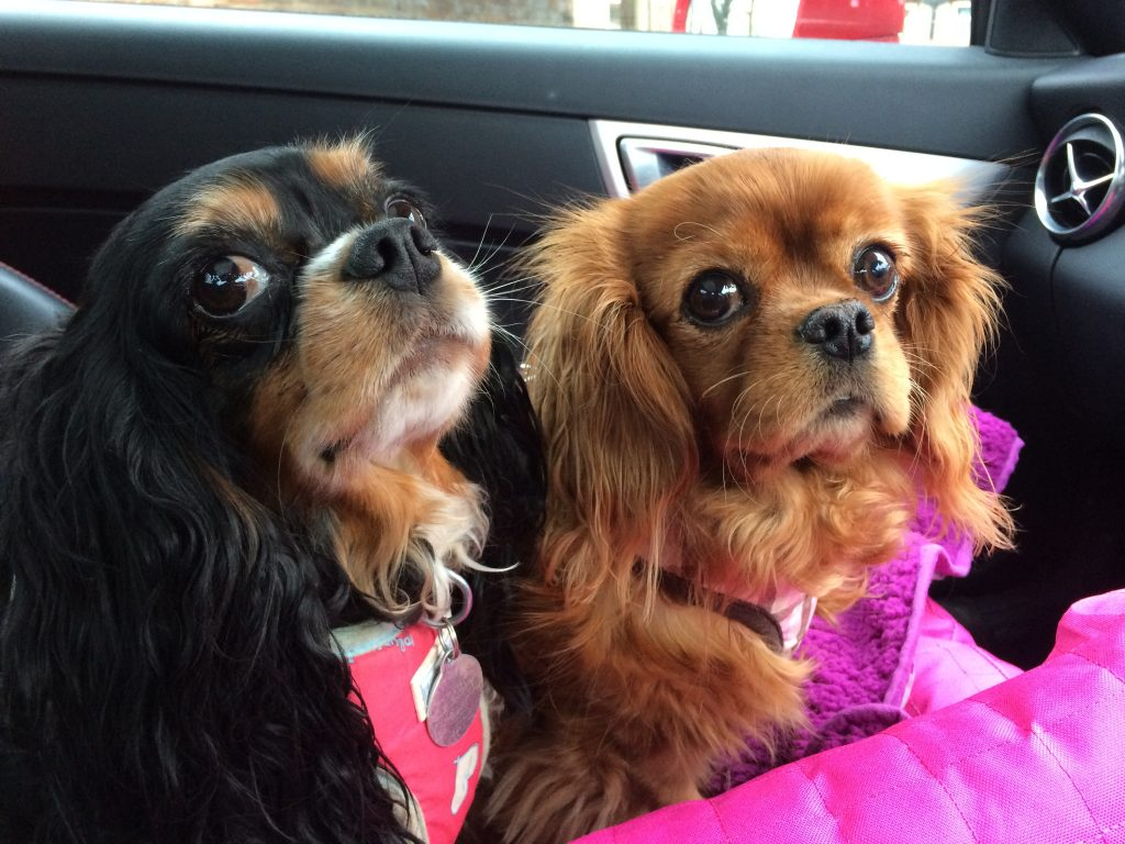 Bliss and Shiver Cavaliers on a road trip