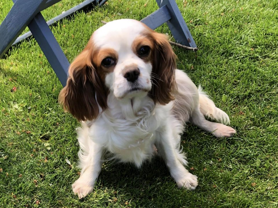 Isla 6 year old femal Cavalier King Charles Spaniel