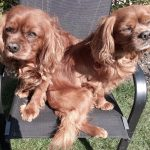 Benji and Charlie Cavalier King Charles available for adoption