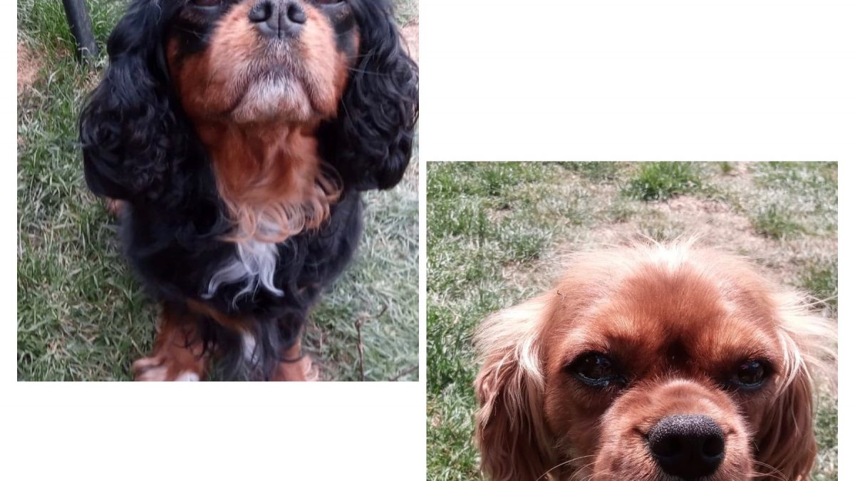 Ebony and Ginny Cavaliers available for adoption