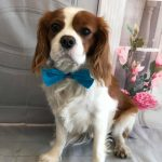 Bentley available for adoption Blenhiem Cavalier King Charles Spaniel age 4