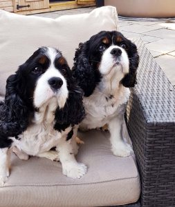 Bill and Ben 9 year old Tricolour Cavalier King Charles Spaniels for adoption
