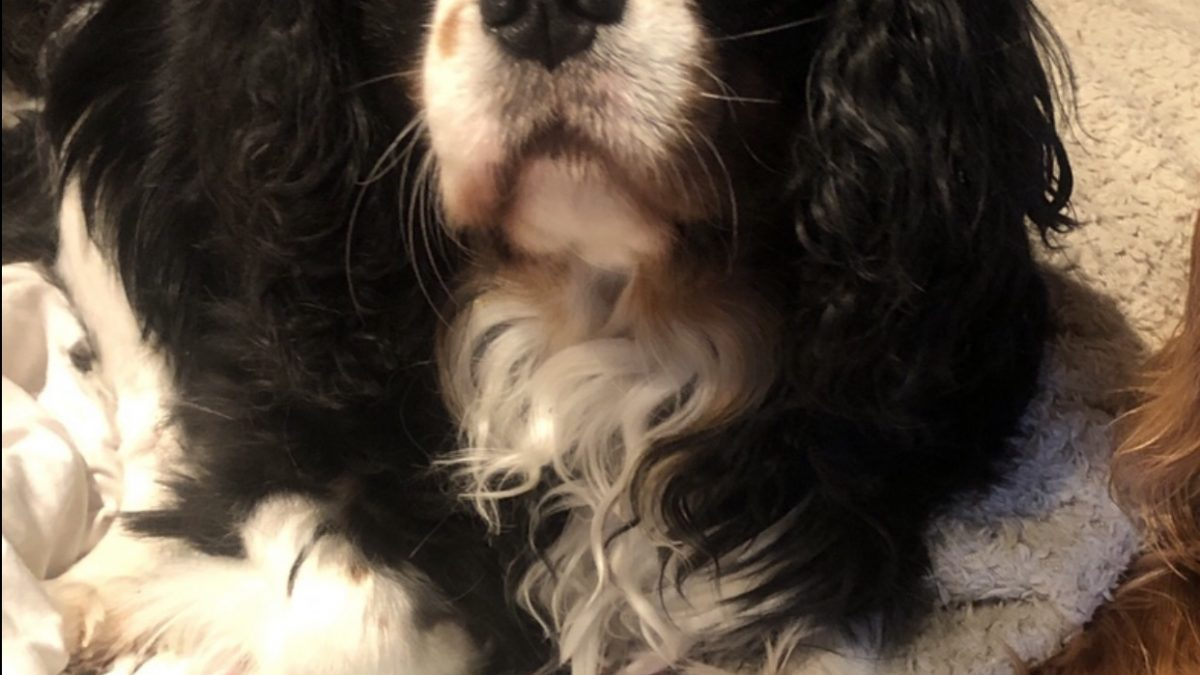 Sonny Tricolour Cavalier King Charles Spaniel age 5 years