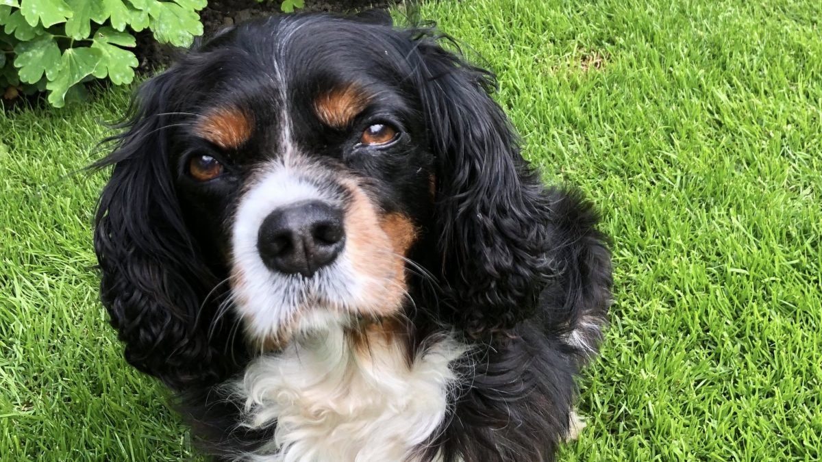 Lily Tricolour Cavalier King Charles age 10
