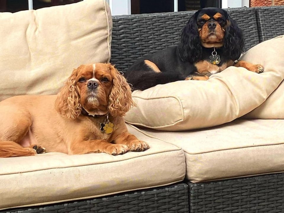 Rudy and Brodie Cavalier King Charles Spaniels age 5 and 6 years