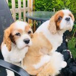 Trixie and Penny Blenheim Cavalier King Charles age 8 and 10 years