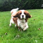 Marley Cavalier King Charles Spaniel Blenheim age 3