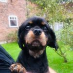 Jack Black and Tan Cavalier King Charles available for adoption