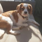 Louis Available for Adoption age 2 Blenheim Cavalier King Charles Spaniel