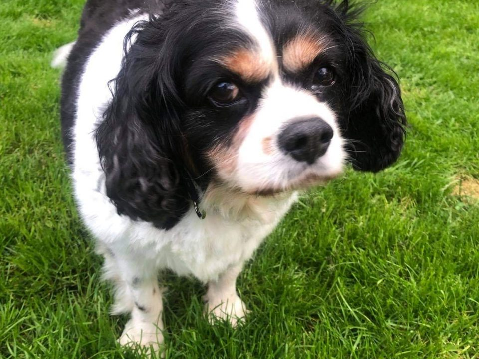 Harvey Cavalier King Charles Age 11 Tricolour