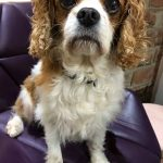 Benji available for adoption Blenheim 11 years old