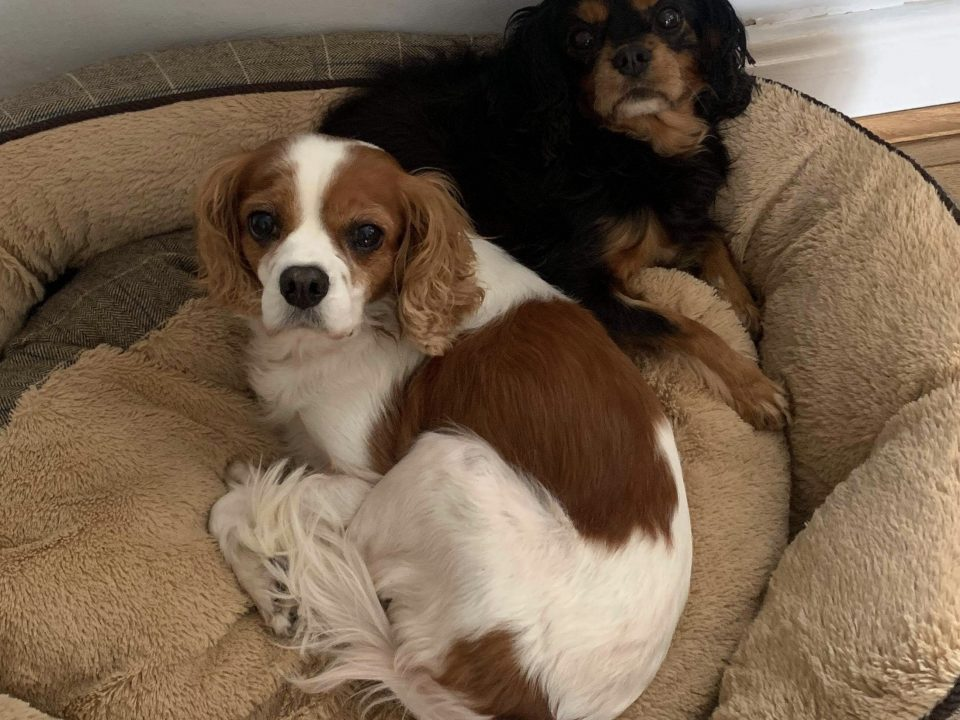 Jade and Sheena Blenheim and Black and Tan Cavaliers available for adoption