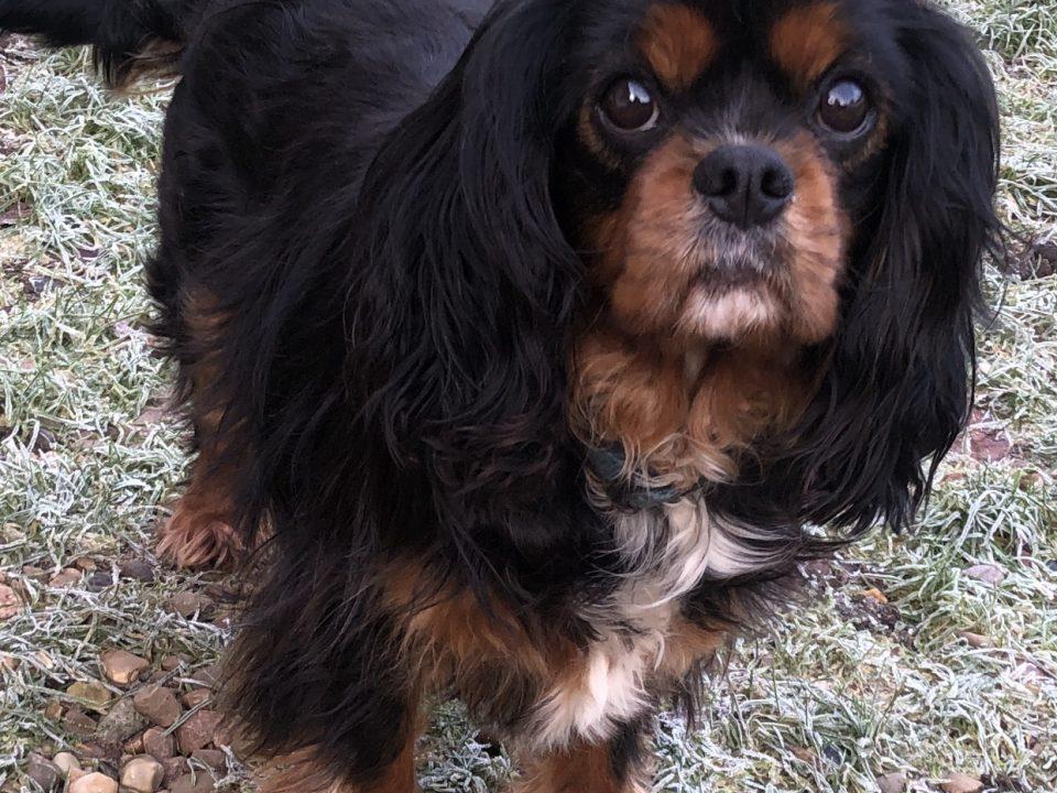 Buddy Cavalier King Charles on grass