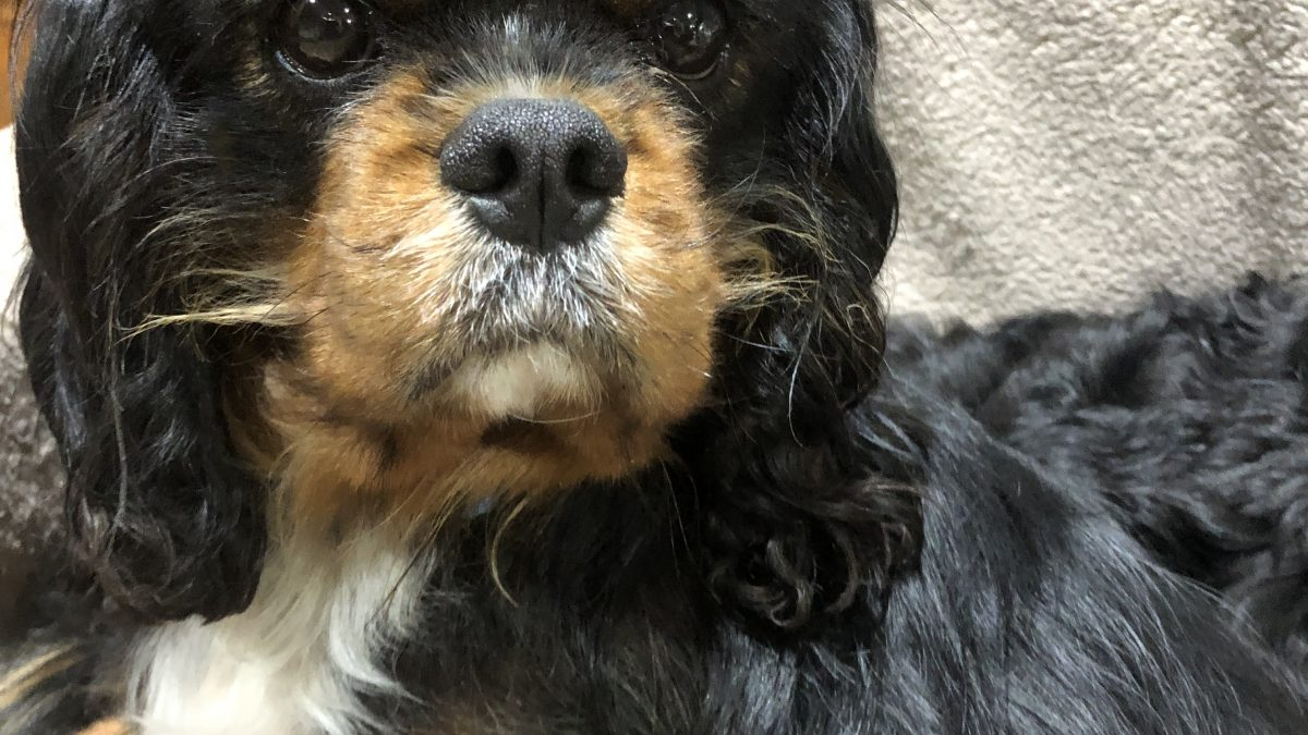 Buddy black and tan Cavalier King Charles age 4 for adoption