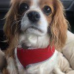 Sybil available for adoption Blenheim Cavalier age 6