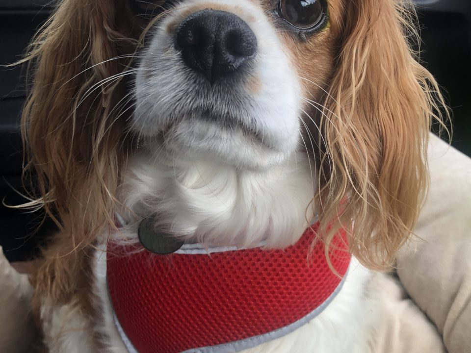 Sybil available for adoption Blenheim Cavalier age 6